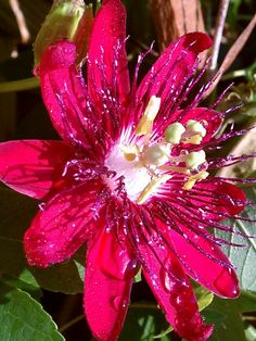Red Passion Flower - be still my heart!