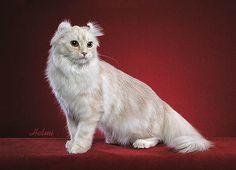 Jenis Kucing American Curl.jpg - #americancurl #catbreeds #typesofcats - More Cat Breeds at Catsincare.com!