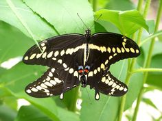 Here are two Giant swallowtails mating ( let's give them privacy)