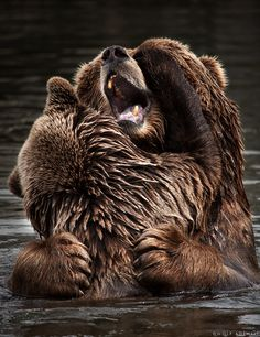 Grizzlies at play.