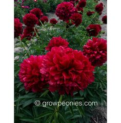 Red Grace Peony — Countryside Gardens, Inc. Buy Peonies, Peony, Countryside, Bloom, Gardens, Seasons, Flowers, Plants, Red