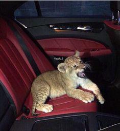 Cute Baby Animals, Animals And Pets, Beautiful Creatures, Animals Beautiful, Big Cats, Cute Cats, Mundo Animal, Exotic Pets, Spirit Animal