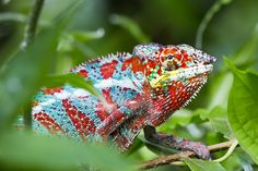 Panther Chameleon by Michael Angst on 500px