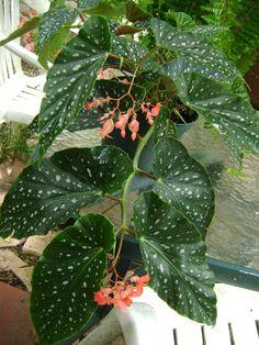 Salmon-Rubra angel wing begonia