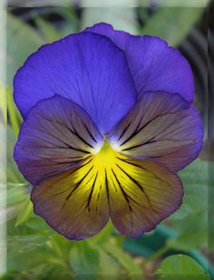 Pansy Plant Leaves | Pansy - Violeta Tri Delta~ Plant in April and they will bloom until ...