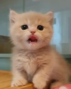 Cute Kitten Meowing and making adorable noises cat cats kitten funny cat funny cats kittens animals kitty funny cute funny cat vide Cute Kittens, Fluffy Kittens, Cute Baby Cats, Kittens And Puppies, Cute Little Animals, Cute Funny Animals, Funny Cats, Cute Dogs, Kittens Playing