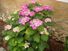 hortenzie-hydrangela Gardening, Plants, Lawn And Garden, Plant, Planets, Horticulture
