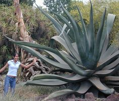 This is Agave mapisaga var. lisa. She is the largest Agave known in existence.