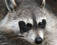 Racoon - Worth1000 Contests
