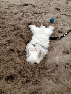 P used to do this in the snow - then I couldn't find him - Love this westie buried in the sand