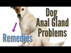 Most people never think about their dog's anal glands until there's a problem with them. These glands are designed to provide lubrication when a dog passes ...