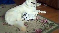 Ce Berger blanc canadien prendre soin d'un bébé chèvre http://www.dailymotion.com/video/x4abqsp_ce-berger-blanc-canadien-prendre-soin-d-un-bebe-chevre_animals