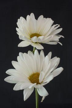 [OC - My Pic] Daisies