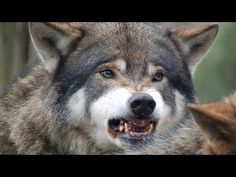 wild life documentary - Wolf hungting moose vs Bear - Discovery channel ...