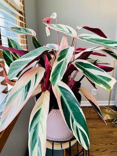 Big Indoor Plants, Big Plants, Outdoor Plants, Big House Plants, Jade Plants, Green Plants, Ficus, Calathea Plant, Variegated Plants