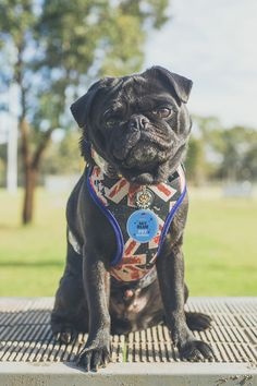 Winston Manner Dog Accessories Review http://www.thepugdiary.com/winston-manner-dog-accessories-review/