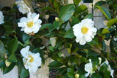 Winter photos of four different Camellia Sasanqua: Yuletide, Shi Shi Gashira, Apple Blossom, and Setsugekka. Magnolia Little Gem, Green Giant Arborvitae, White Camellia, Landscape Plans, Landscape Architecture, Ornamental Grasses, Day Lilies, Hedges, Gardens