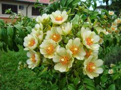 Ora-pro-nobis – Família Cactaceae - A ora-pro-nobis é uma trepadeira ou arbusto lenhoso e tropical, de qualidades como comestível e ornamental. O nome curioso vem no latim