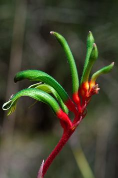 Anigozanthos manglesii, commonly known as the red and green kangaroo paw, is a plant species endemic to Western Australia. Tthe State floral emblem of Western Australia Australian Native Garden, Australian Native Flowers, Australian Plants, Australian Bush, Tropical Flowers, Green Flowers, Pretty Flowers, Wild Flowers, Spring Flowers