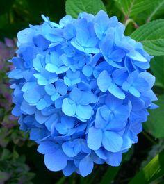Time To Photograph The Hydrangeas Blue Hydrangeablue Flowerspretty