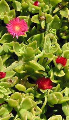 Ice Plant, Baby Sun Rose (Aptenia cordifolia). A gorgeous plant that works well indoors. Colourful daisy-like flowers and waxy succulent type leaves. There are reports that it is edible. And butterflies adore feeding from the flowers. Originally pinned by Ramesses Meryamun.