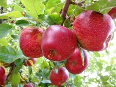 http://www.yourheavencorner.com/antalya/the-apple-orchards-in-antalya-and-health-benefits-of-apples/ We are selling to Apple from Antalya orchards. You can buy natural apple from us.