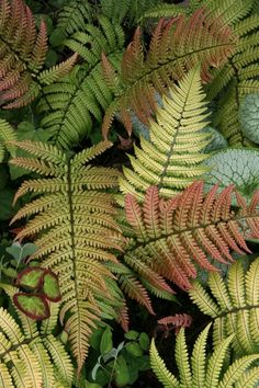 Sunset ferns are perfect for shady spots. Six more top shade-loving plants: http://bit.ly/IO2nz0 (Photo by Richie Steffen, Great Plant Picks; http://www.greatplantpicks.org)