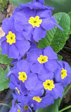 Purple Primrose...my favorite color of primrose, I believe. In my garden :)