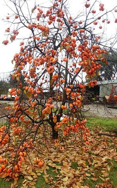 Article: Grow exotic fruits to take you through the winter