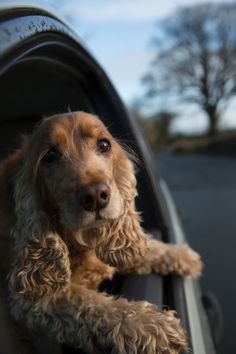 Cocker Spaniel - from Dogs Hanging Out of Windows @KaufmannsPuppy