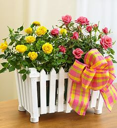 Charming Rose Garden- blooming pink and yellow rose plants set in a charming white picket fence planter with liner $34.99- $54.99