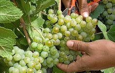 El curso está dirigido a técnicos de viñedo y de bodega