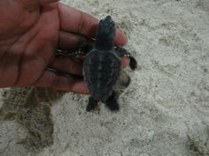 Baby turtles being released - Sandos Playacar