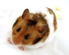 hamster - Recherche Google
