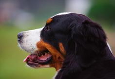Most current Screen bernese mountain dogs temperment Ideas For more than decades, your Bernese Pile Canine is a basis involving farmville farm lifestyle throughou Pet Dogs, Dogs And Puppies, Pets, Mountain Dog Breeds, Farm Lifestyle, Art Prints For Home, Dog Daycare, Bernese Mountain, Dog Bandana
