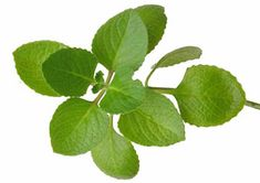 Constantly Tired - 12 Herbs to Increase Energy and Vitality - Oregano