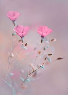 Pink flowers bring pops of cheer to any space. Learn about types of pink flowers and see pink flower images to help you find your perfect plant. My Flower, Pink Flowers, Beautiful Flowers, Flowers Pics, Cosmos Flowers, Flower Images, Cut Flowers, Foto Nature, Jolie Photo