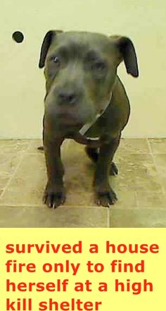 SAFE 04/08/15 by Second Chance Rescue --- Manhattan Center   GRACIE - A1031523  FEMALE, GRAY / WHITE, PIT BULL MIX, 5 mos STRAY - ONHOLDHERE, HOLD FOR DISASTER Reason FIRE  Intake condition UNSPECIFIE Intake Date 03/28/2015 https://www.facebook.com/Urgentdeathrowdogs/photos/pb.152876678058553.-2207520000.1427659865./984446974901515/?type=3&theater