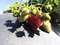 """Descubre la bella experiencia de #recolectar #fresas en #California #EstadosUnidos en nuestro #post """"Campos de fresas y #Highway1 California, nada parece real"""" #BerryPicking #Strawberry #Blog #Viajes #travel"""