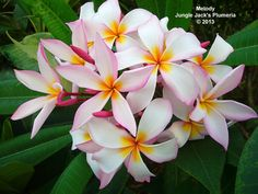 "Melody: Vibrant clusters of deliciously scented 4"" flowers. An excellent blooming plumeria with a nice semi-compact to medium growth habit."