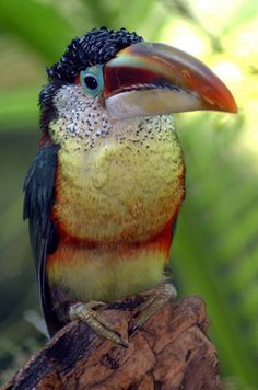 The Curl-crested Aracari (Pteroglossus beauharnaesii) is a South American toucan.  Photo by ucumari