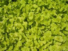 """Lysimachia nummularia """"Goldilocks'- (Creeping Jenny) I LOVE this for drapiness over edges in containers and as a ground cover, especially in moister areas like at the base of a hose. Short Plants, Sun Perennials, Natural Garden, Tropical Garden, Growing Plants, Garden Plants, Shrubs, Flower Pots"""