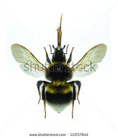 Hymenoptera Fotos, imagens e fotografias Stock   Shutterstock