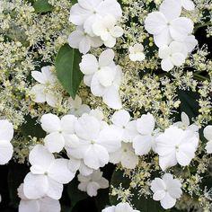 Hydrangea anomala subsp. petiolaris (Climbing Hydrangea) | My City is a Garden