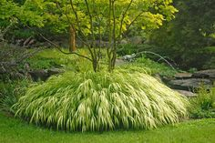 Hakonchloa macra - Hakone grass (Golden Japanese Forest Grass) This gorgeous low-growing plant (to 1') offers a perfect mounding habit. Variegated selections ('Aureola' or 'All Gold') bear brightly colored foliage that light up shady corners. Part shade and well-drained soil.
