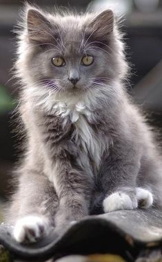 .gray cat magic Looks just like my old cat emit
