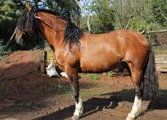 Caballo chileno pura raza ( chilean horse purebred ) Peleco ROMARIO