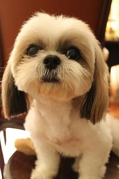 Beautiful Shih Tzu.