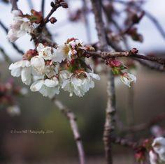 8x8 Japanese Cherry Blossom Print  Wall Art by PrintsByGrace