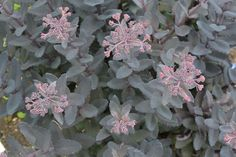 Sedum 'Dark Jack'. An interesting sport from S. 'Matrona' with matt black leaves and flowers that open bright pink and gradually fade. Up to 60cm flowering from July-October.